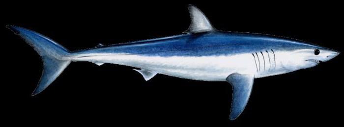 сиво-синя акула