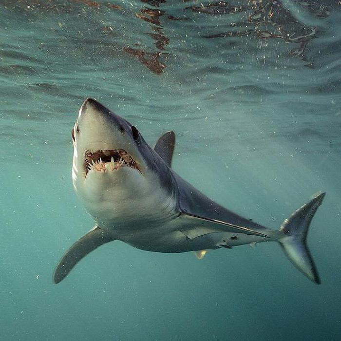 където живее макото акула