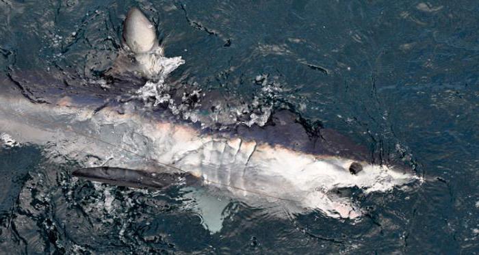 mako е голяма агресивна акула