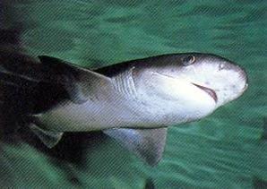 squali nel Mar Nero