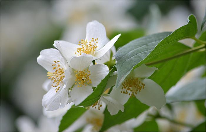 grm jasmina