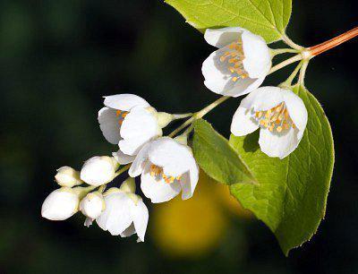 obrezivanje grmova jasmina