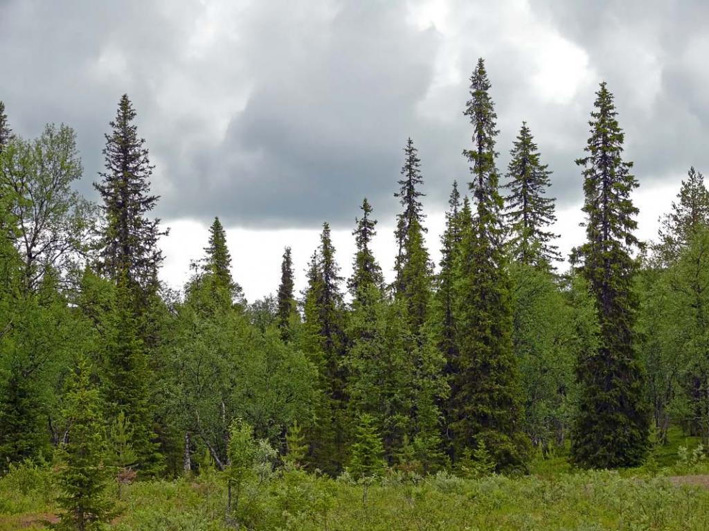 Mješovite šume sa sibirskom smrekom