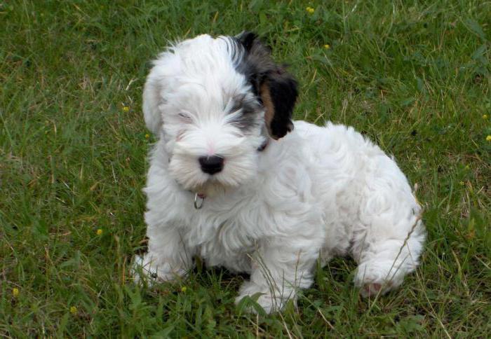 Cuccioli di Sealyham Terrier