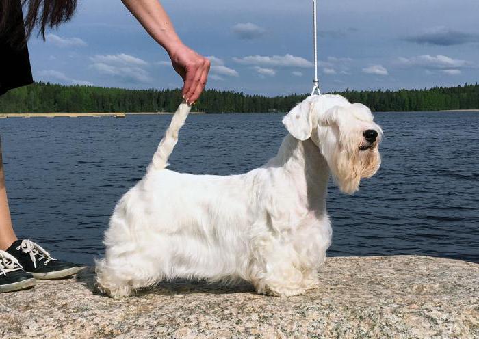 Sealyham Terrier pro e contro di razza