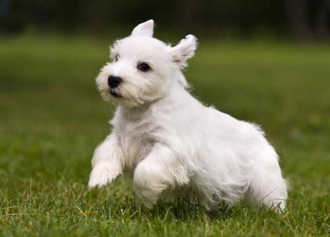 Sealyham Terrier standard