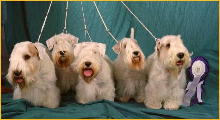 Sealyham Terrier Descrizione