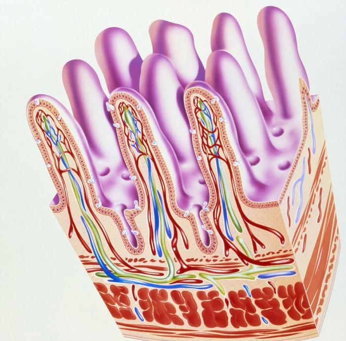 структура танког црева