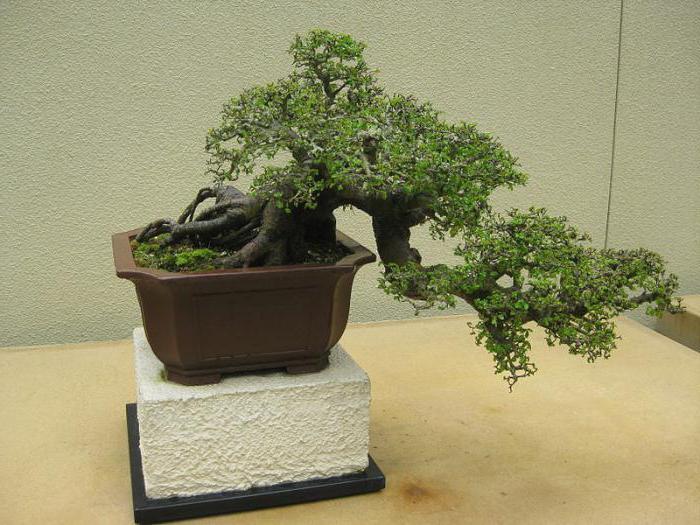 bonsai olmo cura a foglia fine