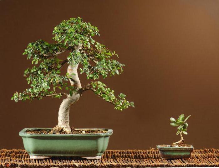 bonsai a foglie fini