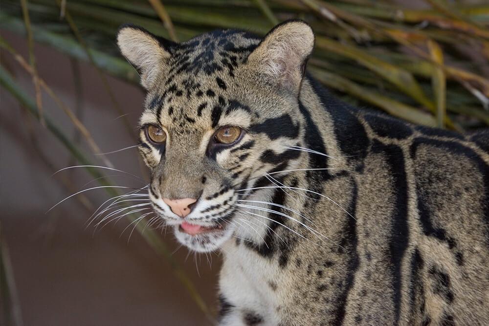 Malezijski zadimljeni leopard