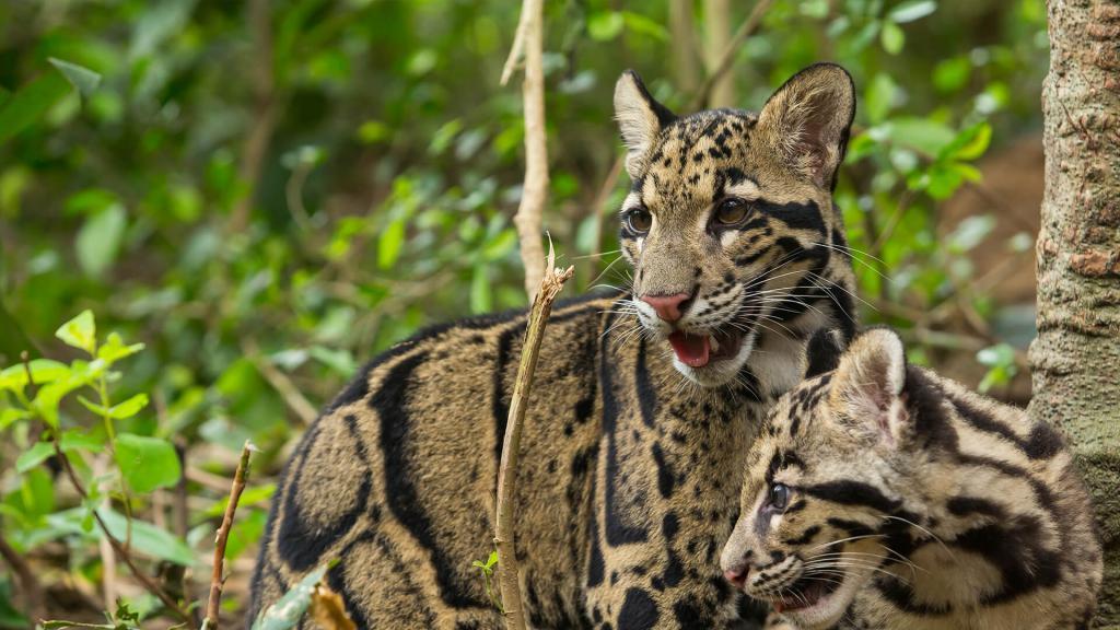 Dva zadimljena leoparda