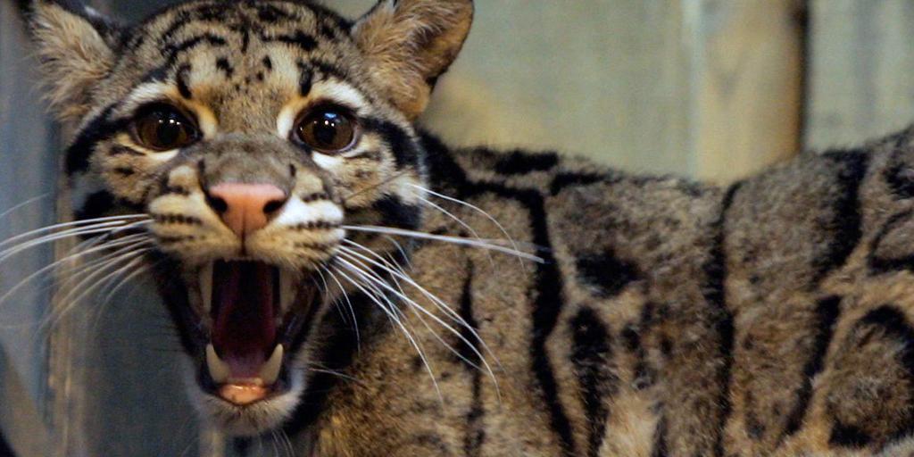Zapušen leopard zareži