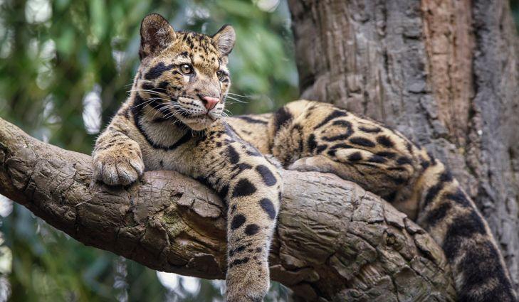 Zadimljeni leopard