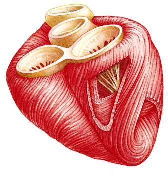tessuto muscolare liscio formato