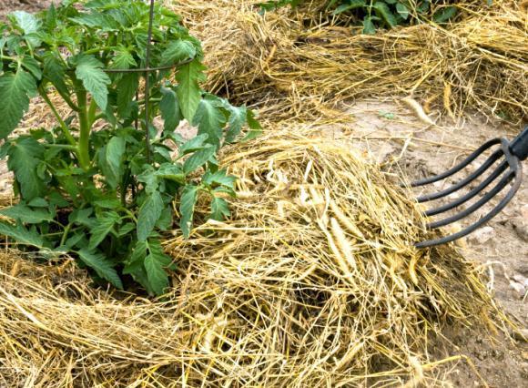 Mulčenje tal pod paradižnikom