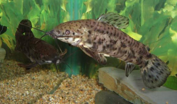 Allevamento di tarakatum di pesce gatto