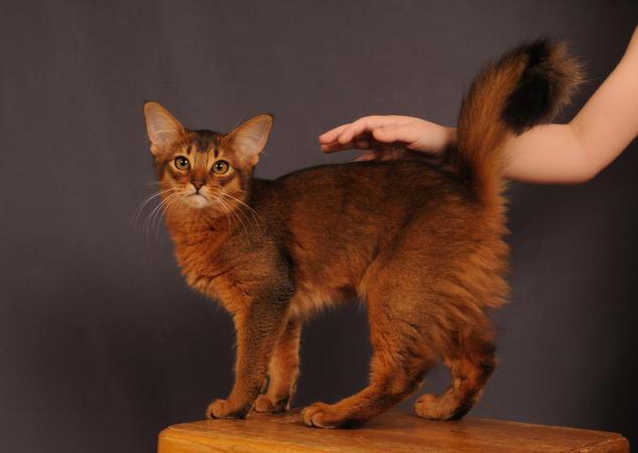 Velká tlustá africká kočička