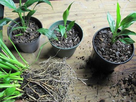 cura delle piante spathiphyllum