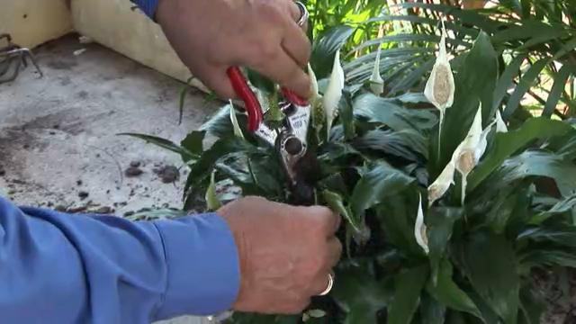 затворено цвеће спатхипхиллум нега