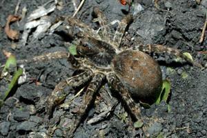 ragni velenosi della Russia