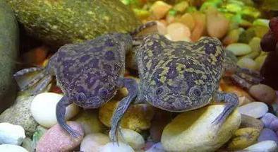 cura e conservazione della rana