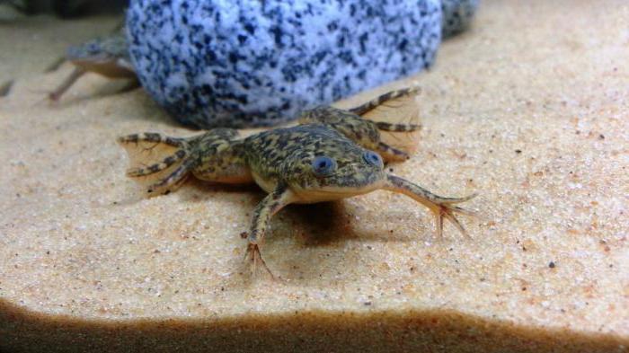 caratteristiche e comportamento delle rane spinose