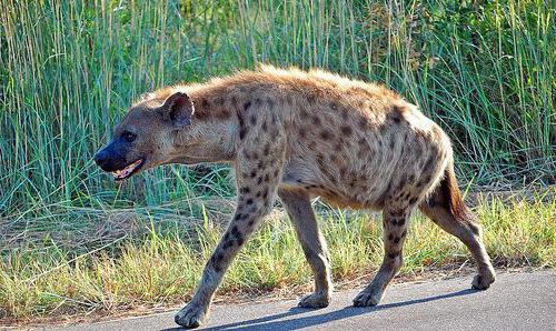 iena macchiata