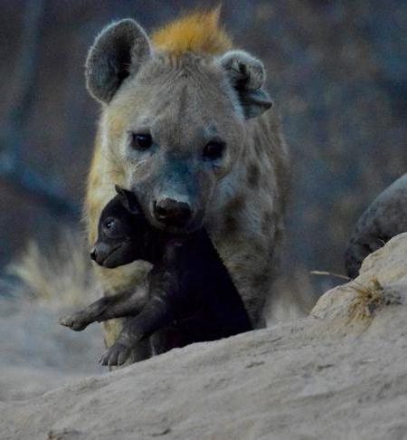 habitat di iena maculata