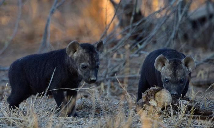 descrizione della iena macchiata