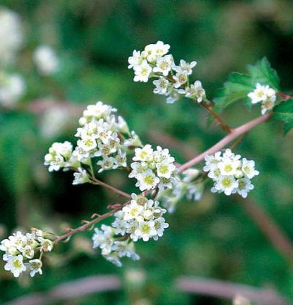 stephanander hrustljavo listje hrustljavo