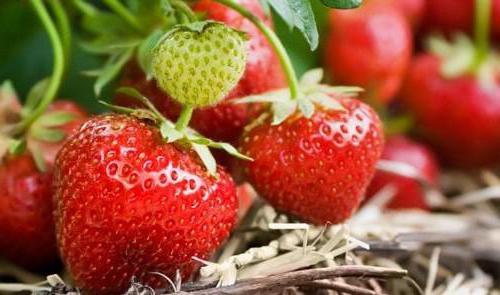 узгој и негу садње јагоде или јагоде