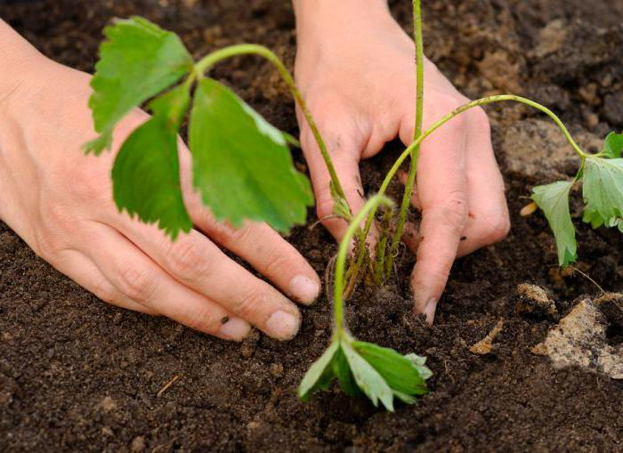 Садња јагоде и заштита од штеточина
