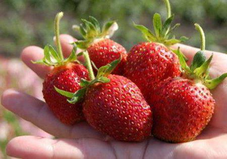 coltivazione di fragole di poltiglia