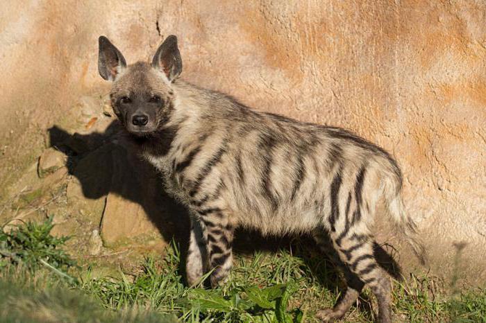 stile di vita a strisce di iena
