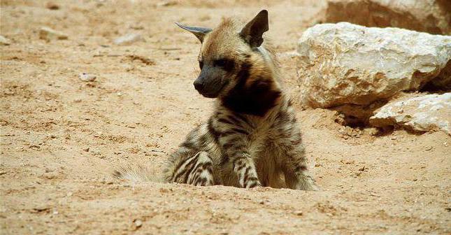 fatti interessanti sulla iena a strisce