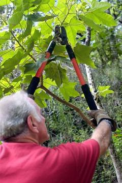 foto di uva da potatura estiva