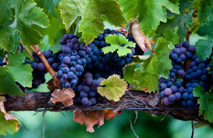 schema di uva da potatura estiva