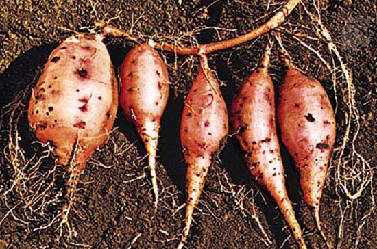 sladké brambory sladké brambory