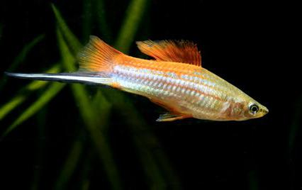 rojstni kraj akvarijskih rib Swordsman