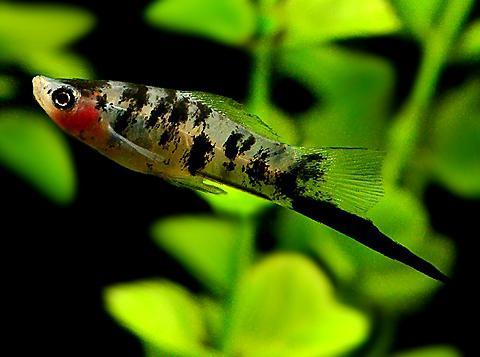 združljivost akvarijskih rib
