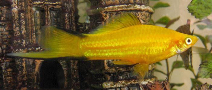 bolezen akvarijskih rib
