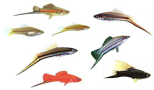 koliko mesnih listov živi akvarijske ribe