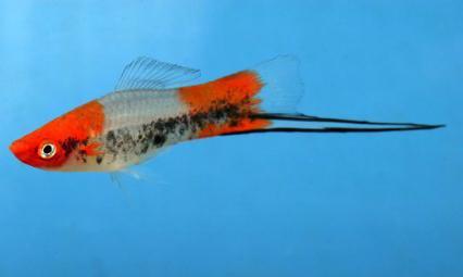 akvarijske ribe swordtail