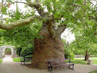 Оријентално дрво јавор