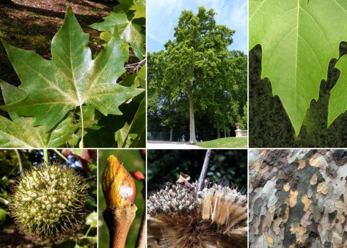 Плананово дрво: опис