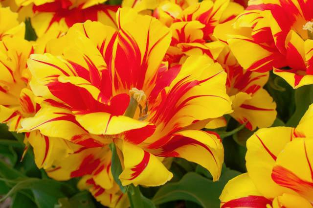 bijela frotirna tulipana fotografija