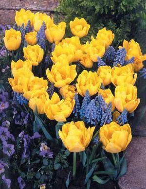 frotir tulipani fotografija i imena