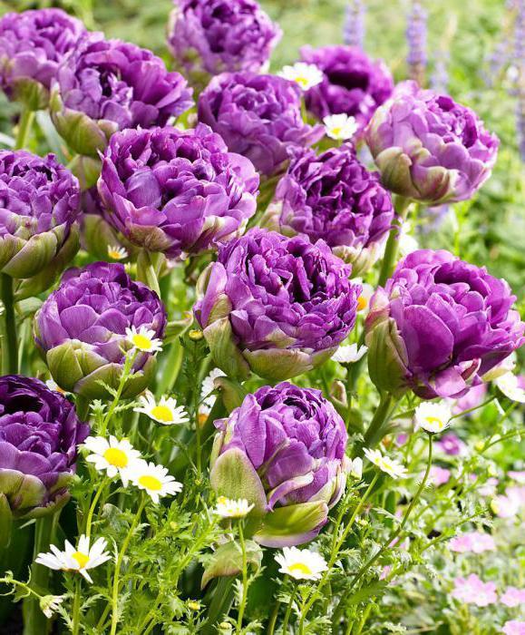 frotirne tulipani