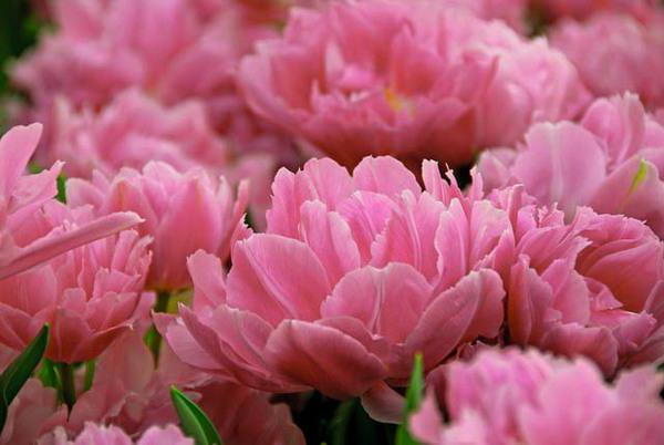 frotir tulipani recenzije